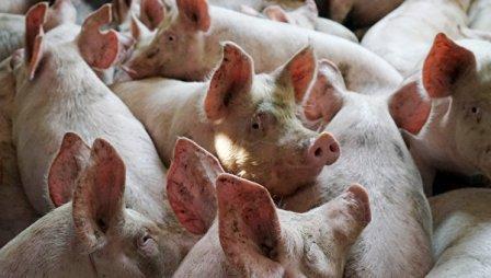 """""""Русагро"""" предложила КНР инвестировать в свиноводческий комплекс"""