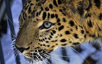 Экотуризм спасет леопардов