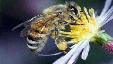 Дальневосточная порода пчел